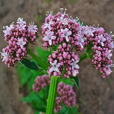 Valeriana OFFICINALIS или Валериана Лекарственная (семена)