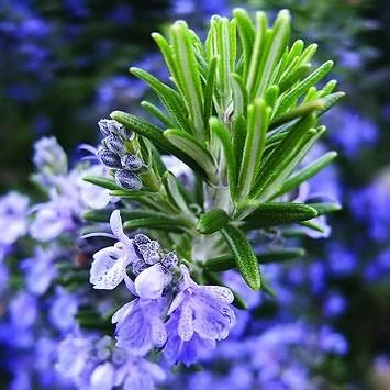 Rosmarinus OFFICINALIS или Розмарин Лекарственный (семена)