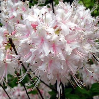 Rhododendron ARBORESCENS или Рододендрон Древовидный (семена)