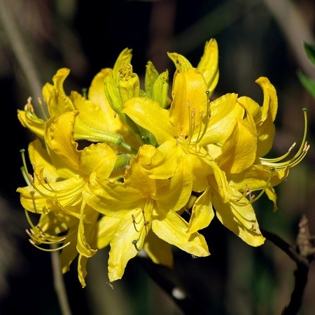 Rhododendron LUTEUM или Рододендрон Желтый (семена)