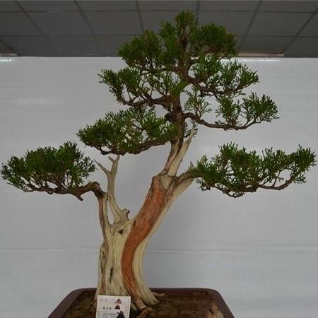 Platycladus ORIENTALIS или Плосковеточник Восточный (семена)