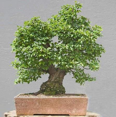 Platanus ORIENTALIS или Платан Восточный (семена)