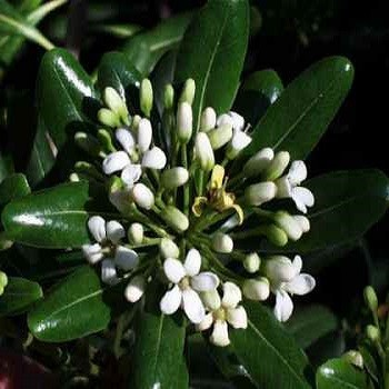 Pittosporum TOBIRA или Питтоспорум Пахучий (семена)