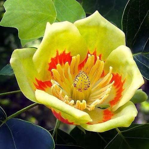 Liriodendron TULIPIFERA или Лиpиодендpон Тюльпановый (семена)