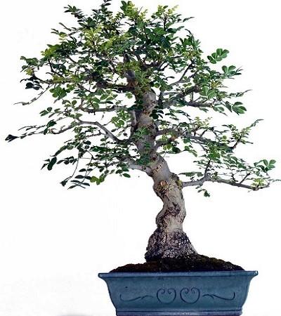 Fraxinus ANGUSTIFOLIA или Ясень Узколистный (семена)