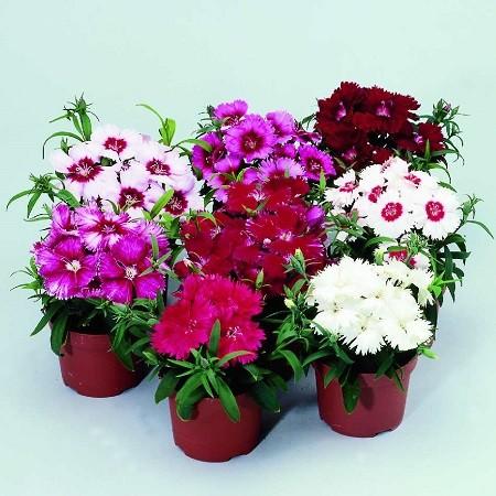 Dianthus BARBATUS или Гвоздика Бородатая (семена)