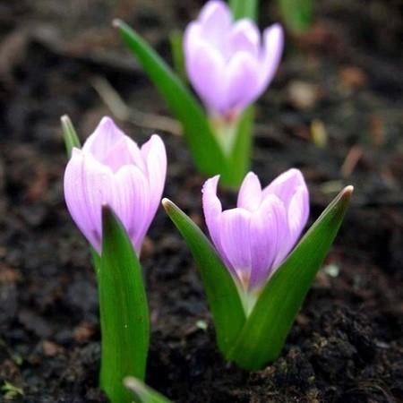 Colchicum AUTUMNALE или Безвременник Осенний (семена)