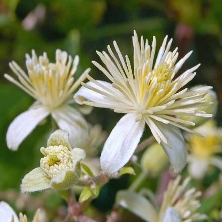 Clematis VITALBA или Клематис Виноградолистный (семена)