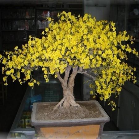 Chimonthus PRAECOX или Химонант Скороспелый (семена)