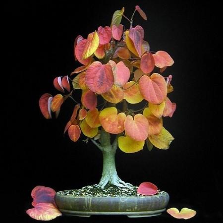 Cercidiphyllum JAPONICUM или Багрянник Японский (семена)