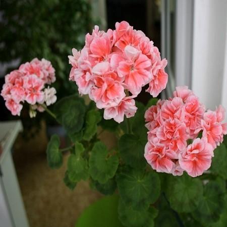 Перагония CANASTA (растение)