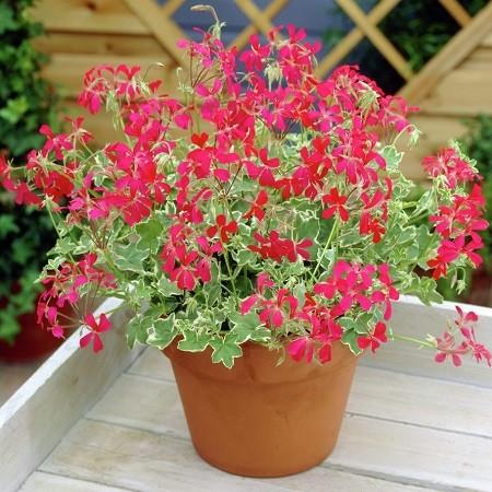 Пеларгония вариегатная EVKA (растение)