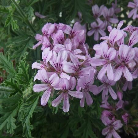Пеларгония душистая LEMON ROSE (растение)