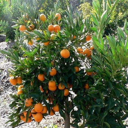 Мандарин Уншиу (растение)