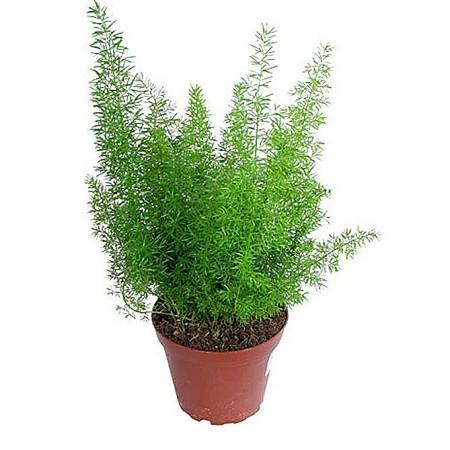 Аспарагус Кистевидный (растение)