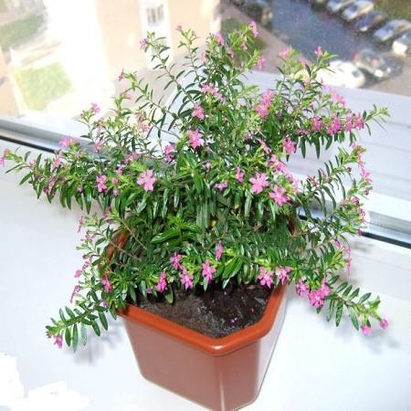 Куфея Иссополистная (растение)