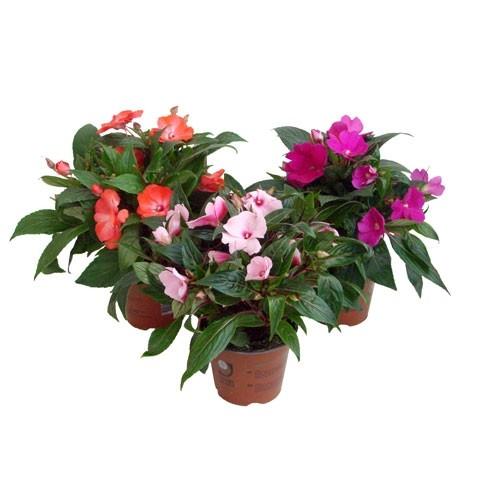 Бальзамин Новогвинейский Гибридый (растение)
