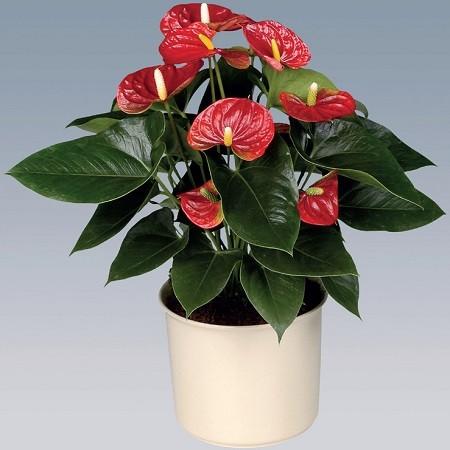Антуриум Красный (растение)
