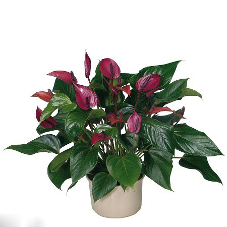 Антуриум Сиреневый (растений)