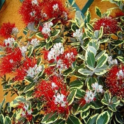 Метросидерос Вариегатный (растение)