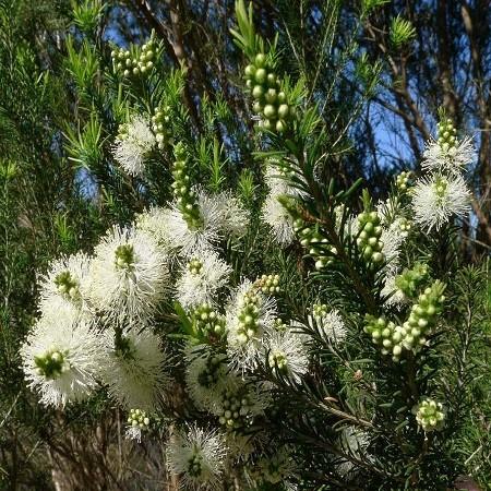Мелалеука Вересколистная (растение)