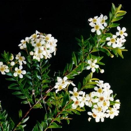Бабингтония или Саннанта (растение)