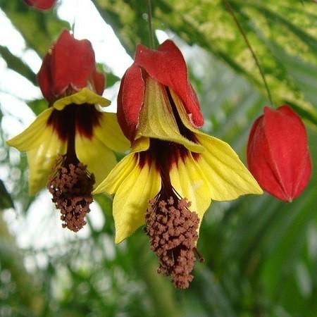 Абутилон Мегапотамский (растение)