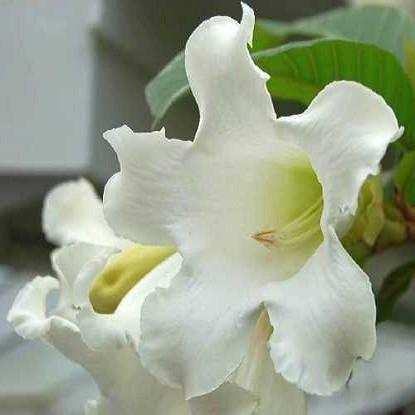 Beaumontia Grandiflora или Бьюмонтия Крупноцветковая (семена)