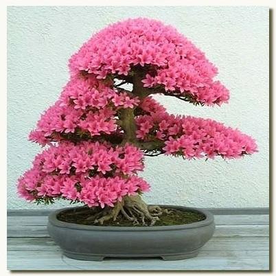 Rhododendron Indicum или Азалия Индийская (семена)