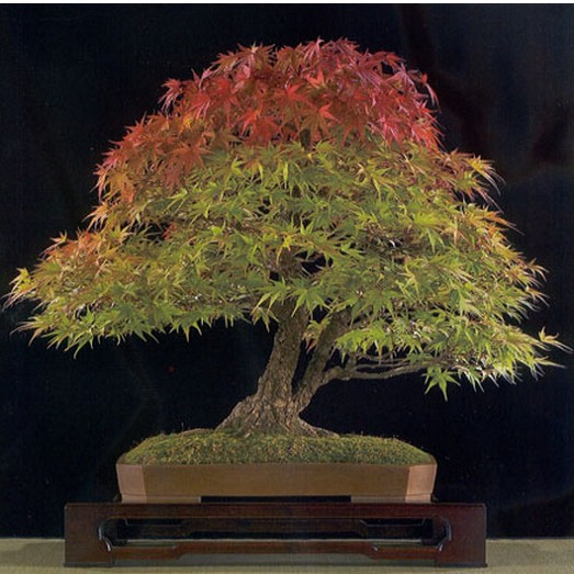 ACER Buergerianum или Клен Трехлопастной (семена)