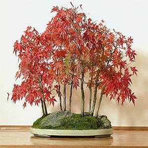 ACER Palmatum Atropurpureum или Красный Японский Клен (семена)