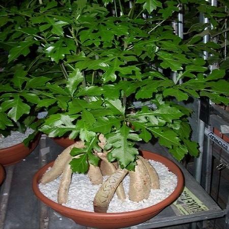 Brachychiton Acerifolius или Брахихитон Кленолистный (семена)
