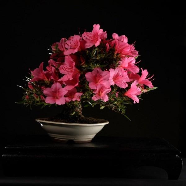 Rhododendron Ferrugineum или Рододендрон Ржаволистный (семена)