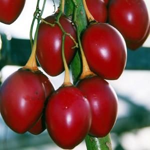 Tamarillo или Томатное Дерево (семена)