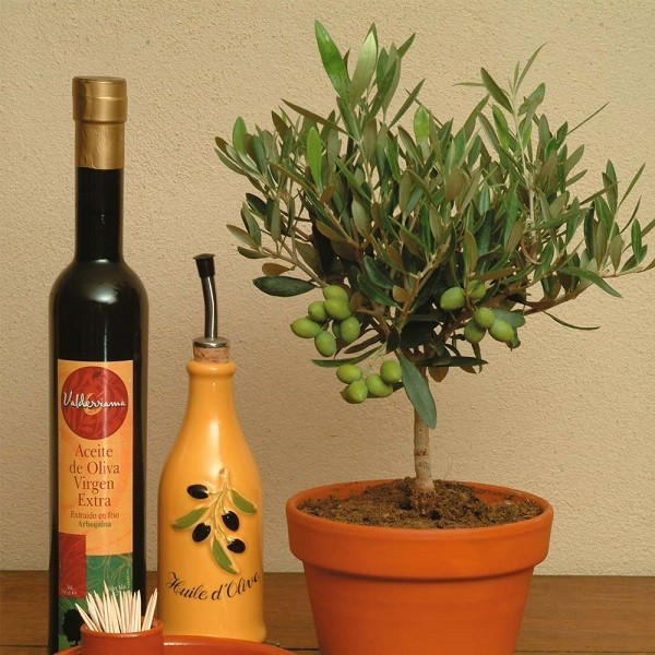 Olea Europaea или Олива Европейская (семена)