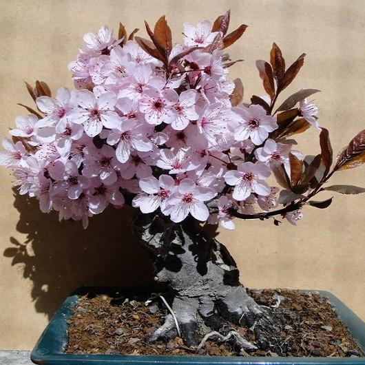 PRUNUS Cerasifera или Слива Растопыренная (семена)
