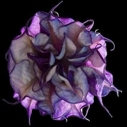 Datura Metel Double Purple или Дурман Индийский (семена)
