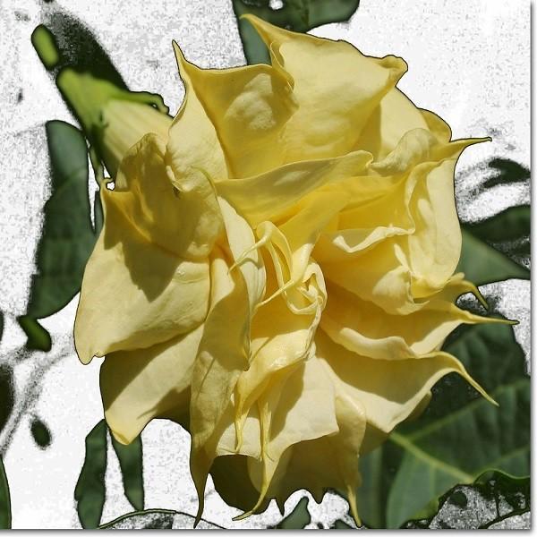 Datura Metel Double Yellow или Дурман Индийский (семена)