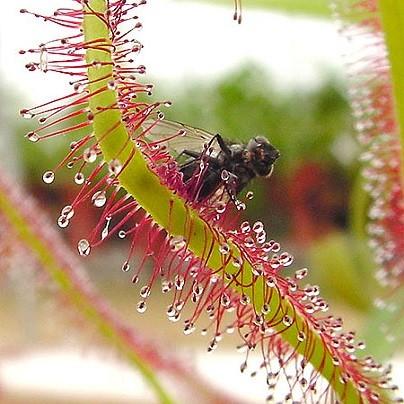 Drosera Сapensis Alba или Росянка Капская Белая (семена)
