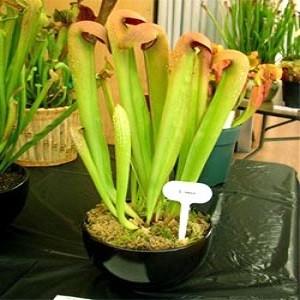 Sarracenia FLAVA или Саррацения Желтая (семена)