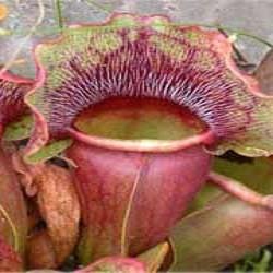 Sarracenia PURPUREA или Саррацения Пурпурная (семена)
