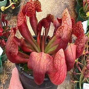 Sarracenia RUBRA или Саррацения Красная (семена)
