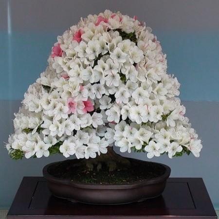 Rhododendron ATLANTICUM или Рододендрон Атлантический (семена)