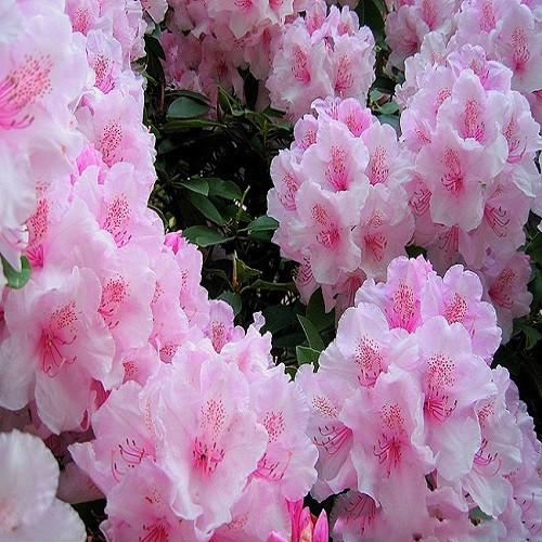 Rhododendron SCHLIPPENBACHII или Рододендрон Шлиппенбаха (семена)