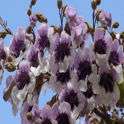 Paulownia FORTUNEI или Павловния Форчуна (семена)