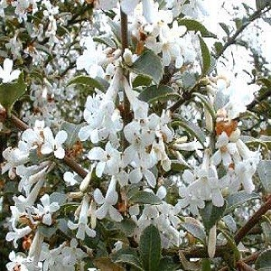 Osmanthus FRAGRANS или Османтус Душистый (семена)
