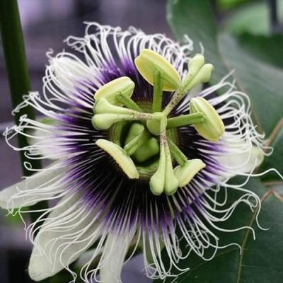 Passiflora EDULIS или Маракуйя (семена)