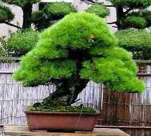 Pinus THUNBERGII или Сосна Японская (семена)