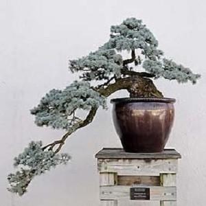 Picea PUNGENS GLAUCA или Ель Голубая (семена)