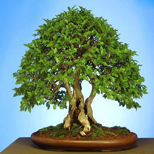Carpinus JAPONICA или Граб Японский (семена)